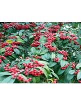 Cotoneaster salicifolia  - Котонеастер  - приблизителни размери - 20 - 40 см.