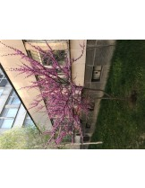 Cercis siliquastrum - Див Рожков (Юдино дърво) - приблизителни размери - 200 - 250 см.