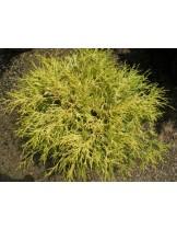 Chamaecyparis pisifera 'Filifera Aurea Nana'    - Лъжекипарис - височина -  20 - 40 см.