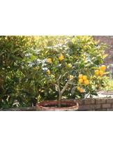 Citrus limonium - лимон - 3 годишен- височина 1.00 - 1.10 м.