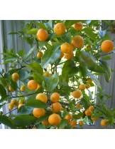 Citrus nobilis - мандарина - 3 годишен- височина 1.00 - 1.10 м.