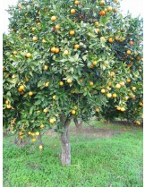 Citruss sinensis - портокал - 3 годишен- височина 1.00 - 1.10 м.