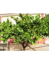 Citrus paradisi - грейпфрут - 3 годишен- височина 1.00 - 1.10 м.