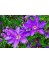Clematis 'Etoile de Malicorne'  - Клематис синьо-розов- 60 - 80 см.