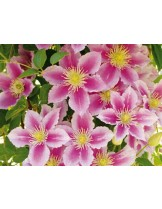 Clematis 'Piilu'  - Клематис розов- 60 - 80 см.