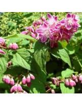 Deutzia hybrida 'Perle Rose' - Дейция розова - приблизителни размери - 20 - 40 см.
