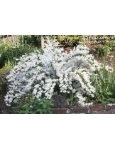 Deutzia crenata 'Nikko' - Дейция бяла - приблизителни размери - 20 - 40 см.