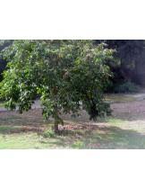 Diospyros kaki - райска ябълка- височина 1.00 - 1.10 м.