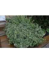 Euonymus fortunei emerald gaiety - Евонимус - приблизителни размери - 10 - 20 см.