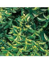 Euonymus fortunei 'Coloratus' - Евонимус - приблизителни размери - 10 - 20 см.