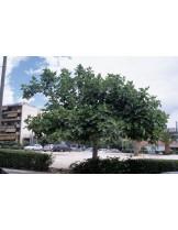 Ficus carica - смокиня- височина 1.00 - 1.10 м.
