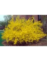 Forsythia - форсития - височина на растението -  0.12 - 0.25 м.