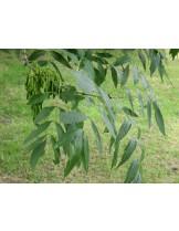 Fraxinus exelsior - ясен - приблизителни размери - 50 - 70 см.