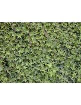 Hedera helix - бръшлян - височина на растението -  0.2 - 0.3 м.