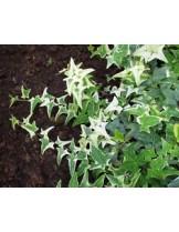 Hedera dentata - бръшлян - височина на растението - 0.2 - 0.4 м.