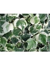 Hedera marengo - бръшлян - височина на растението - 0.2 - 0.3 м.