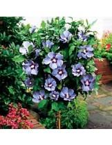 Hibiscus syriacus 'Blue Bird'  - дървовидна ружа - синя - приблизителни размери - 0.80 - 1.00 м.