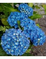 Hydrangea hortensis - хортензия синя - височина на растението - 0.20 - 0.40 м.