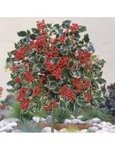 Ilex aquifolium argentea marginata - Илекс, джел - приблизителни размери - 20 -40 см.