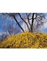 Jasminum nudiflorum - жасмин жълт - височина на растението - 0.2 - 0.4 м.