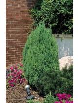 Juniperus chinensis 'Stricta'  - хвойна - височина -  40 - 60 см.
