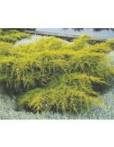 Juniperus media 'Gold Star'  - хвойна - височина -  15 - 20 см.