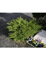 Juniperus media 'Mint Julep' - хвойна - височина -  40 - 60 см.