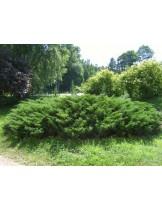 Juniperus sabina - хвойна - височина -  40 - 60 см.
