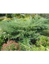 Juniperus sabina 'Glauca'  - височина -  40 - 60 см.