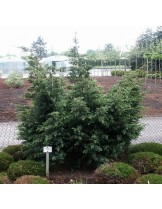 Juniperus squamata 'Blue Alps' - хвойна - височина -  15 - 20 см.