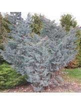 Juniperus squamata 'Meyeri'  - хвойна - височина -  80 - 100 см.