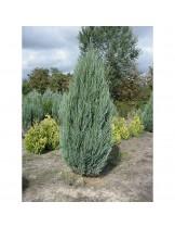 Juniperus virginiana 'Sky Rocket'  - хвойна - височина -  15 - 20 см.
