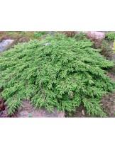 Juniperus communis 'Green Carpet'  - хвойна - височина -  30 - 40 см.