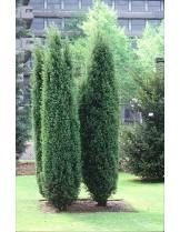 Juniperus communis 'Hibernica'   - хвойна - височина -  60 - 80 см.