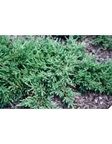 Juniperus communis 'Repanda'   - хвойна - височина -  5 - 10 см.