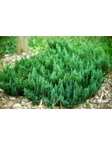 Juniperus horizontalis 'Blue Forest'  - хвойна - височина -  30 - 40 см.