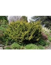 Juniperus chinensis 'Plumosa' - хвойна - 20 - 40 см.