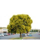 Koelreuteria paniculata - Китайски мехурник, Коелреутерия паникулата  приблизителни размери - 50 - 80 см.