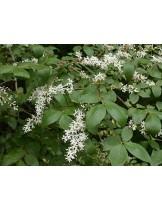 Ligustrum chinense - лигуструм - приблизителни размери - 20 - 40 см.