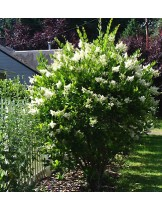 Ligustrum japonicum - Лигиструм - височина на растението -  0.2 - 0.4 м.