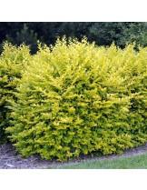 ligustrum ovalifolium aureum - Лигиструм - височина на растението - 0.2 - 0.4 м.