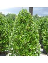ligustrum texanum - Лигиструм - височина на растението - 0.2 - 0.4 м.