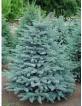 Picea pungens glauca - Сребрист смърч - височина -70 - 90 см.