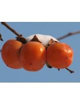 Райска ябълка Костата - 1.20 - 1.80 м.