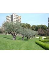 Olea europaea - маслина - 2 годишна, - височина 1.00 - 1.10 м.
