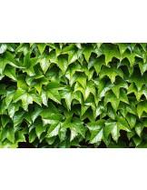 Parthenocissus tricuspidata - височина на растението - Партеноцисус, Дива лоза - 0.2 - 0.4 м.