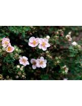 Potentilla fruticosa 'Sophies Blush'- Потентила - приблизителни размери - 0.2 - 0.4 м.