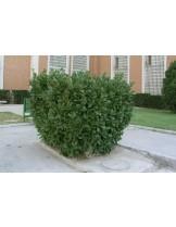 Prunus laurocerasus - Прунус (Декоративна слива) лавровишна - височина на растението - 0.30 - 0.50 м.