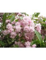 Prunus serrulata 'Kiku Shidare Sakura' - Прунус - приблизителни размери - 120 - 180 м.