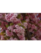 Prunus serrulata 'kanzan' - Прунус - приблизителни размери - 120 - 180 м.